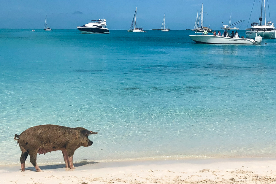 Swimming with pigs in the Bahamas is one of the top Exuma excursions. See the Exuma pigs at Pig Island on Pig Beach.