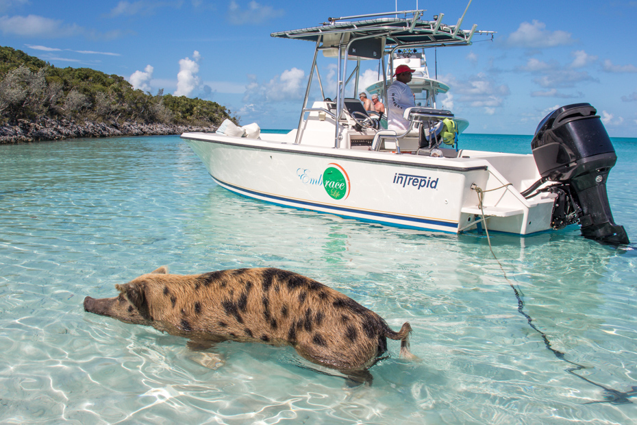 The swimming pigs Exuma tours are great for the whole family! See the Exuma pigs in action at Big Major Cay on Pig Beach.