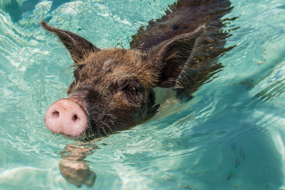 Go on a swimming with pigs tour of Pig Island in the Out Islands! Exuma day trips are available on any Bahamas vacation.