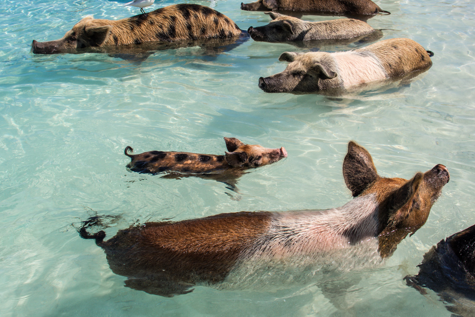 Take our Pig Island tours from Nassau to be with the Exuma pigs! A one day cruise to Bahamas is made possible exclusively with Bahamas Air Tours.