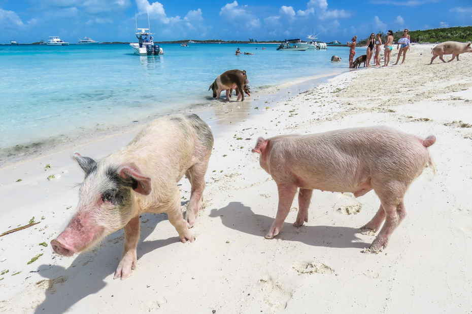 best beaches in nassau for cruisers: Pig Beach , Big Major Cay in the Exuma Cays. Take a Nassau to Exuma Day Trip with Bahamas Air Tours