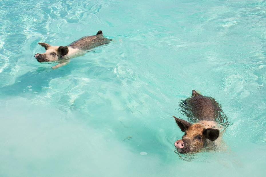 Go swimming with pigs on Pig Beach! There are plenty of things to do in Nassau Bahamas but what about a Bahamas day trip to Exuma Cays