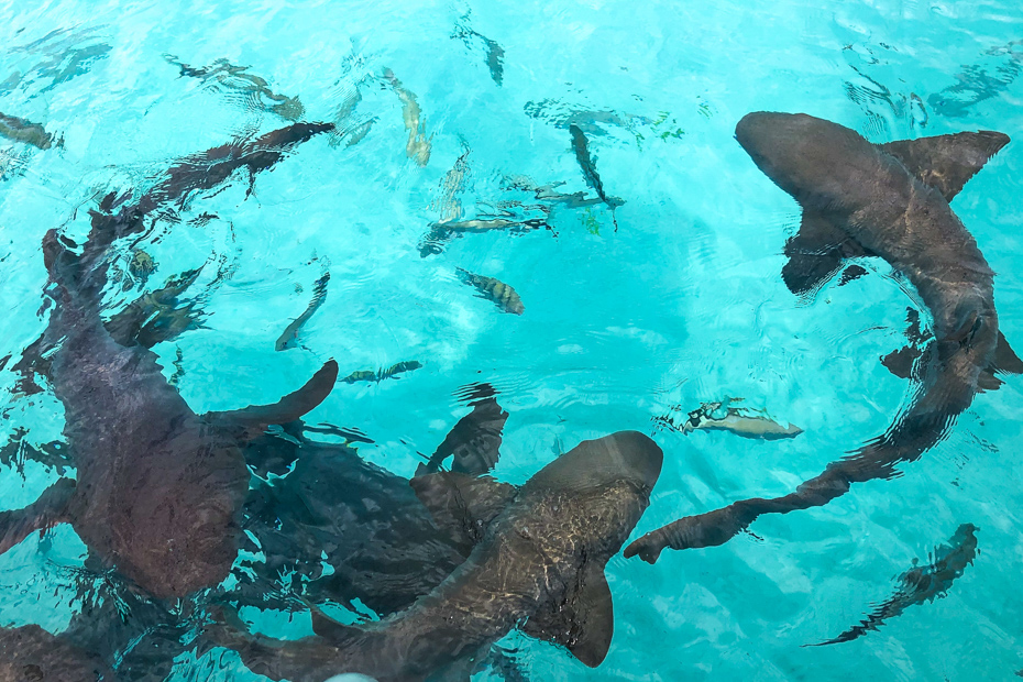 The Bahamas sharks at Compass Cay. A day trip to the Bahamas from Miami is sure to have you crossing paths with the Compass Cay Sharks.