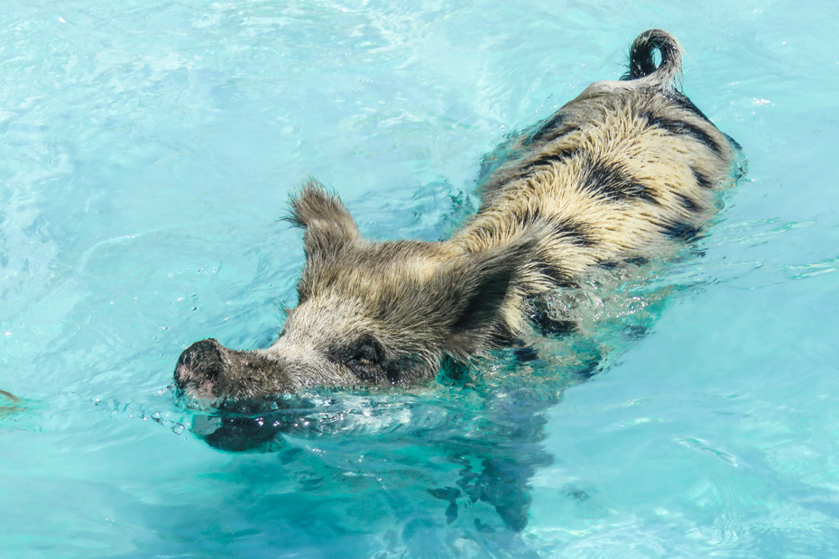 Day Trips from Nassau Bahamas to Pig BEach Exuma. Visit the Bahamas Swimming Pigs at Pig Island (Bitter Guana Cay) close to Staniel Cay in the Bahamas Exumas. The Nassau Swimming Pigs Exuma tours from Nassau by plane are the best way to visit the Exuma Pigs.