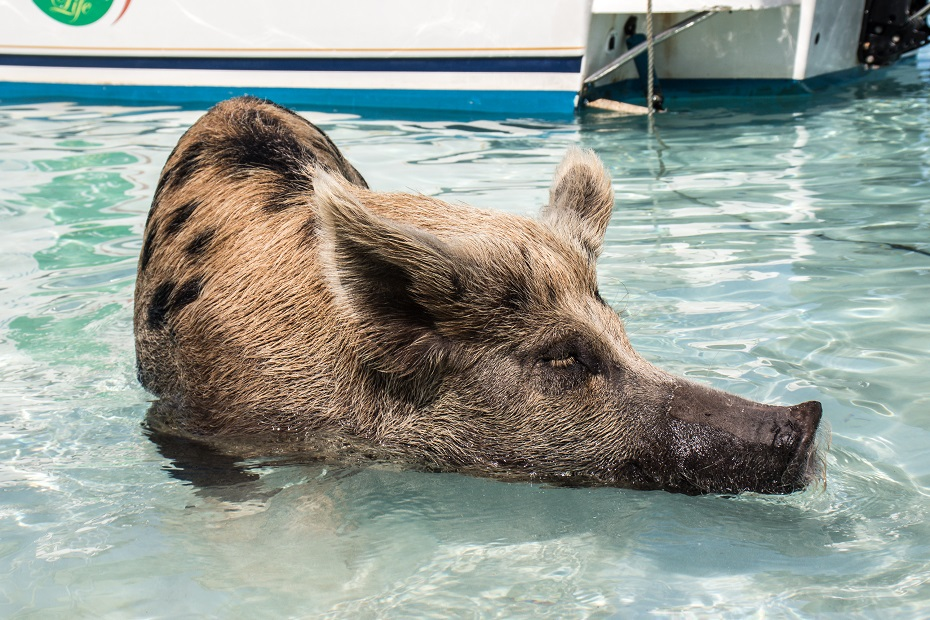 Go swimming with the pigs at Big Major Cay. Looking for what to do in Nassau Bahamas? How about a day trip to Exumas with Bahamas Air Tours